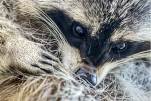 Moscow, RussiaA raccoon is seen at The Raccoon's House in the town of Khotkovo near the capital where over 20 of the animals live.