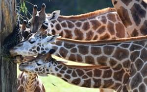Queensland, Australia Sophie (bottom) the giraffe is seen feeding with members of her herd on her first birthday at Australia Zoo in Beerwah, Queensland