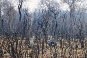 Two rheas, known locally as nandu, walk between charred trees in an area affected by wildfires in Santa Teresita village near Robore, Bolivia