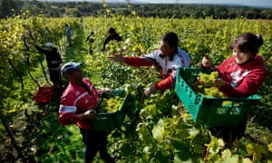 Romanian workers harvest the grape crop in an English vineyard in Sussex.