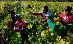 Romanian fruit pickers in an English vineyard in Sussex. 'What Britain runs on is labour, wherever it comes from.'