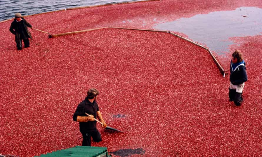 Cranberries are grown in 'bogs' lined with peat, gravel and clay.