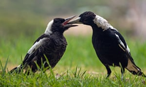 A magpie feeds its young in Western Australia