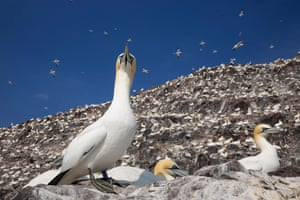 Bass Rock, the world's largest colony of northern gannets