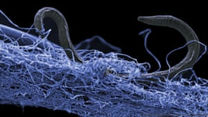 A nematode (eukaryote) in a biofilm of microorganisms, an unidentified nematode (Poikilolaimus sp.) which lives 1.4 km below the surface.