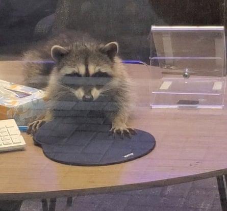 raccoon on a desk