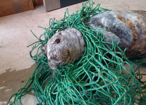A grey seal found tangled up in netting at Cruden Bay in Aberdeenshire which has been returned to the sea by rescuers. The Scottish SPCA was alerted and officers took him to a rescue centre where the animal was cut free.