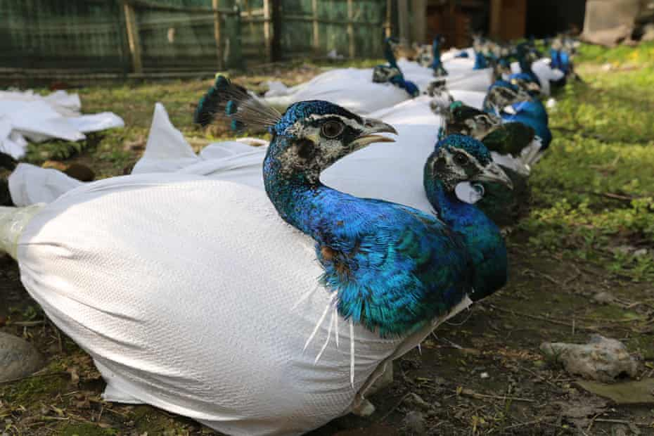 Live peacocks wrapped up in plastic bags, in Xiangyang, China