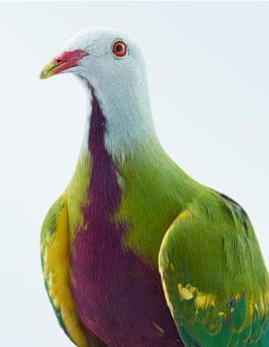 Wompoo pigeon