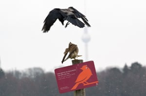 A kestrel (below) is attacked by a hooded crow on Tempelhofer Feld, part of the former Tempelhof airport