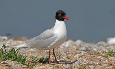 Country diary: as temperatures rise, Mediterranean gulls are all loved-up