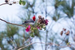 The red-crested cardinal (Paroaria coronata) songbird on purple bougainvillea in Asunción, Paraguay