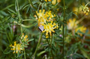 A Holly blue butterfly rests on a yellow kidney vetch.