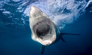 Apex predatory sharks, such as the Great White, are ecologically important because they stabilise populations of their prey, and their removal negatively affects marine ecosystems.