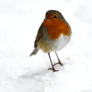 Food search for a robin in Dublin