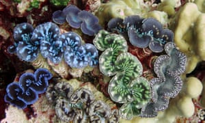Rare giant clams in the Pacific Remote Islands marine national monument south of Hawaii.