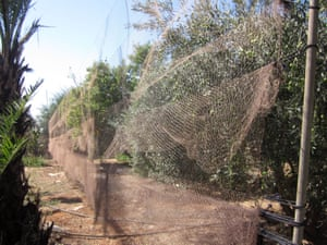 Long lines of netting placed in trees to illegally catch birds.