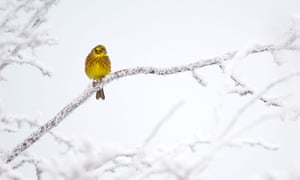 A yellowhammer in snow