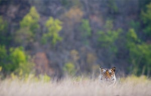A subadult male Bengal tiger hides in dry grass in the hope of catching one of the spotted deer grazing nearby