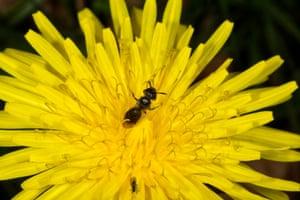 Smooth-gastered furrow bee (Lasioglossum parvulum) on dandelion
