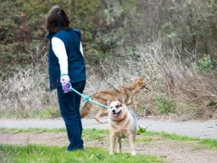 A coyote passes behind a dog-walker in San Francisco. Experts are urging people to adopt a policy of co-existence rather than fear.