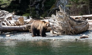 The presence of grizzly bears in early April along British Columbia's Broughton archipelago has become a cause of concern for locals and conservation officers.