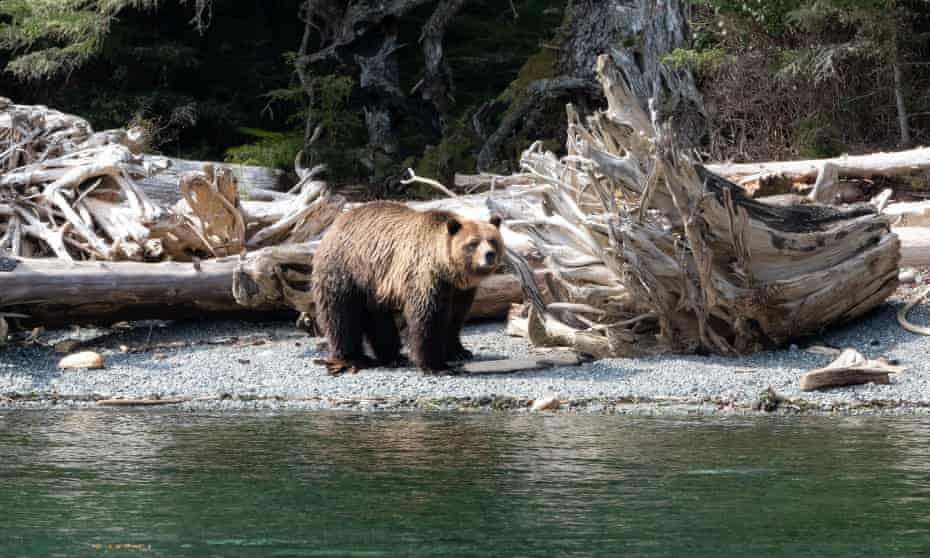 The presence of grizzly bears, like Mali pictured here, along the scattering of islands in British Columbia's Broughton archipelago has become a cause of concern for locals and conservation officers.