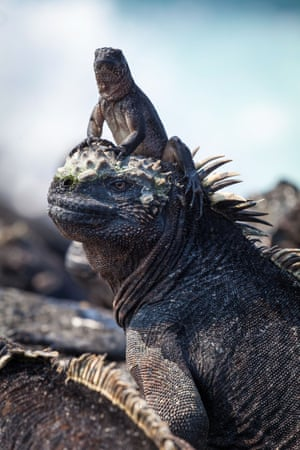 A hatchling marine iguana sits on the head of an adult at Cape Douglas, on the island of Fernandina