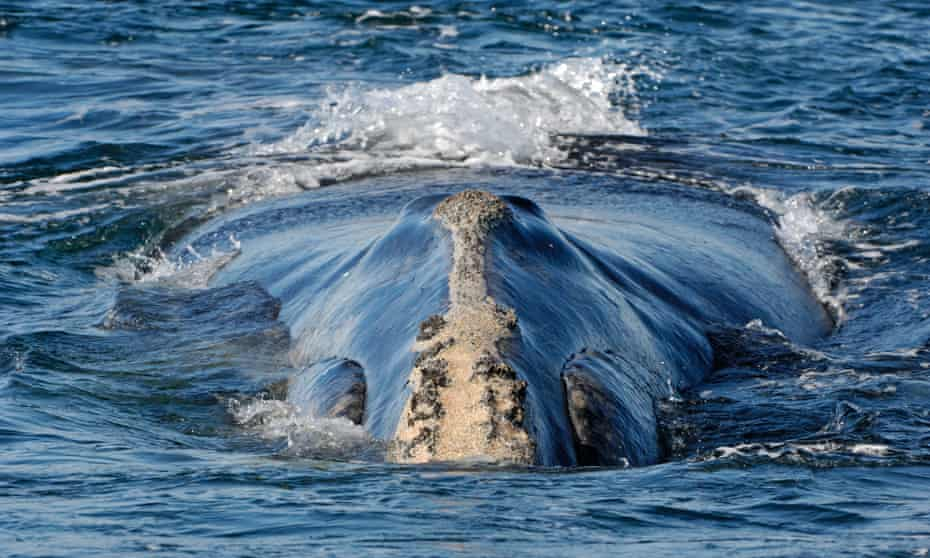 A North Atlantic right whale in the Bay of Fundy, Canada