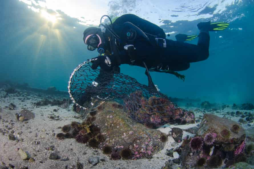 A diver collecting some of the 80 billion urchins that have ravaged kelp forests along Norway's coastline.