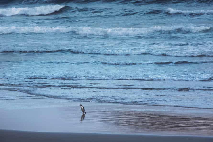 A yellow-eyed penguin returning to shore at dusk.