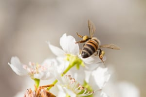 A honeybee harvests pollen from blossoming tree buds, UK