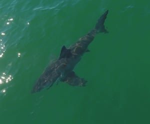 A young great white shark in Monterey Bay, California