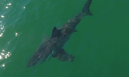 Sharks have increasingly wandered north in the past few years, leading to frequent sightings in the Monterey Bay since 2014.