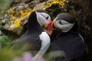 Two puffins seemingly pecking at each other