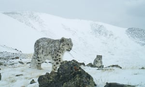 A snow leopard in Russia's Sailyugem national park taken with a camera trap. It used only to be possible to estimate snow leopard populations by following their tracks and droppings.
