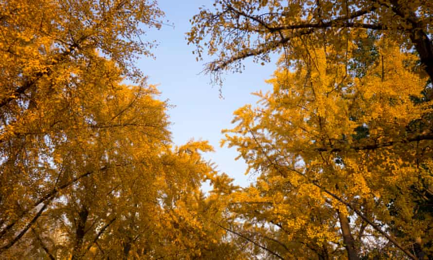 Yellow leaved gingko trees in autumn in Beijing, China.