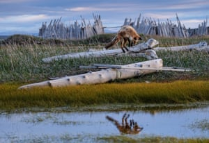 Dynamic ecosystems student winner: Fox on the Hunt, photographed in Canada