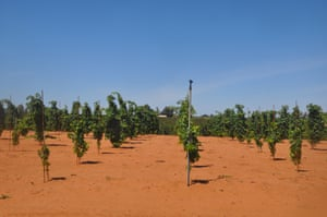 New grape plantings at Mildura