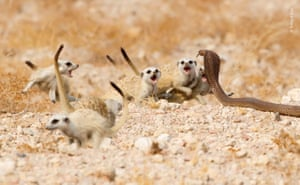 An Anchieta's cobra rears its head and moves towards two meerkat pups near their warren on Namibia's Brandberg Mountain. The rest of the pack – foraging nearby – reacts almost instantly. Fluffing up their coats, tails raised, the mob edges forwards, growling
