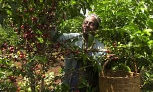 An Ethiopian coffee farmer picks coffee in his farm near Jimma, 375km south-west of Addis Ababa.