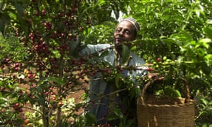 An Ethiopian coffee farmer, 234 miles south-west of Addis Ababa, harvests his crop.