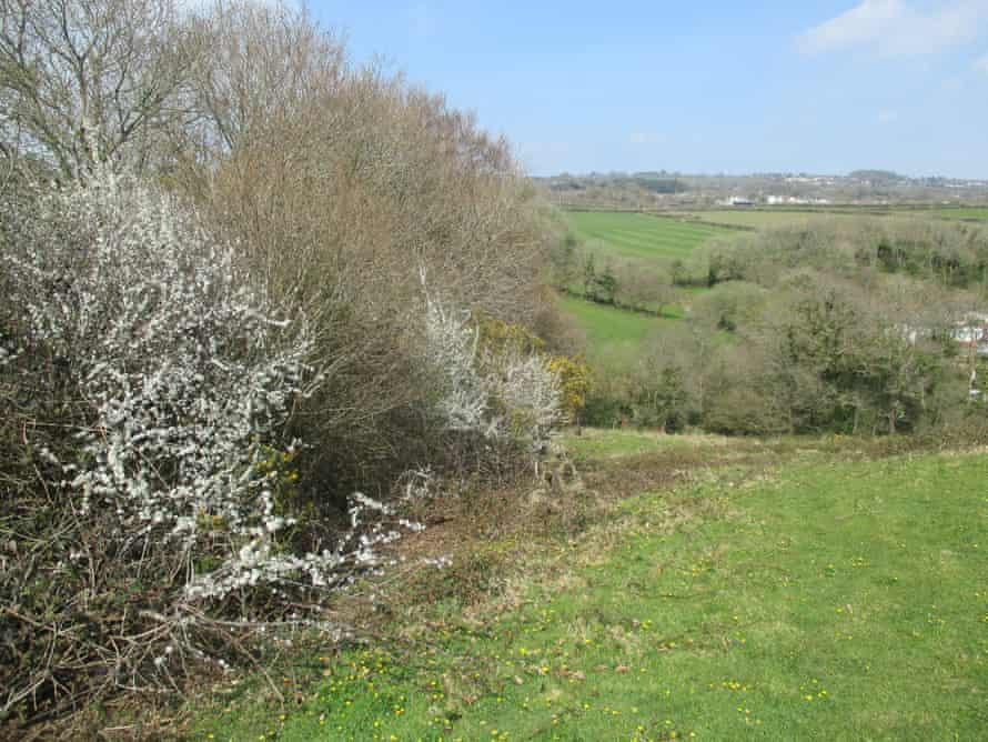 Blackthorn in an outgrown hedge.