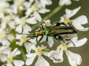 A swollen-thighed beetle – Oedemera nobilis – at a riverbank in British woodland