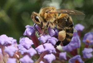 A honey bee prods flowers for nectar in an urban garden in the city centre of Berlin, Germany. A study released last year conducted by entomologists over several years showed a strong decline in the shear numbers of insects in Germany, presumably due to the use of pesticides by farmers and the disruption of natural habitats.