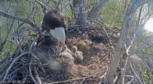 A popular bald eagle nesting livestream from the Friends of the Redding Eagles. Liberty's three chicks with partner Guardian were hatched between 21 and 24 March.