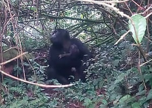 A gorilla holding her baby in Bwindi Impenetrable National Park, Uganda. Two new baby gorillas have been spotted in a national park where a beloved primate named Rafiki was killed in June. A Ugandan wildlife official said the additions are part of a baby boom in the forested protected area popular with tourists