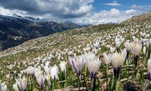 Crocuses in the Swiss Alps.