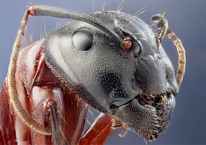 Studio image of a Camponotus herculaneus (a large ant). Swedish photographer John Hallmén magnifies images of insects he finds at a local nature reserve to reveal their true colours and facial features.