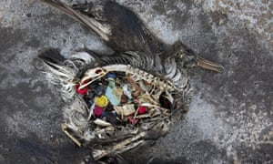 Birds and other marine creatures ingest plastic and this can lead to damage to internal organs, gut blockages or chemical build-ups in tissues.